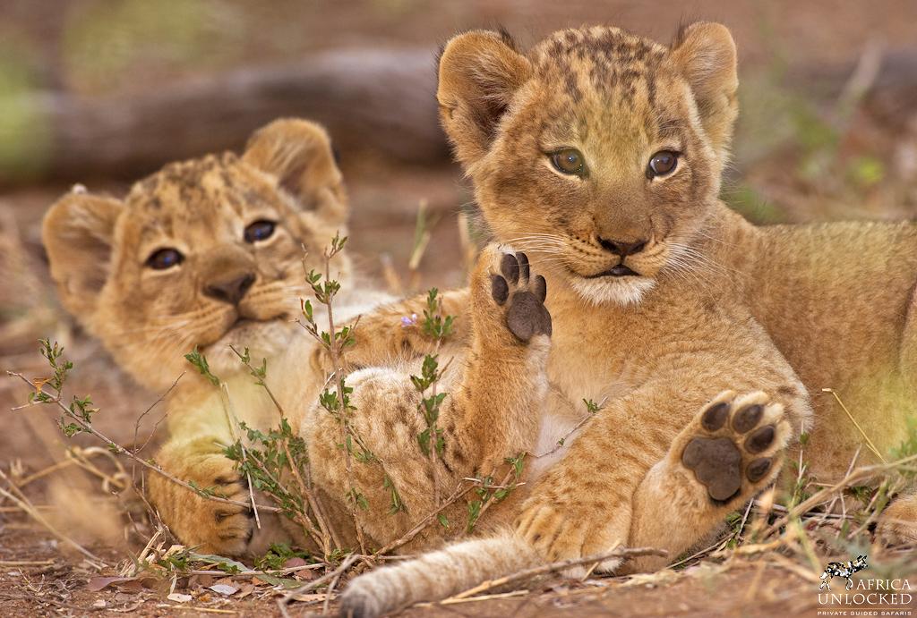 lion cubs-