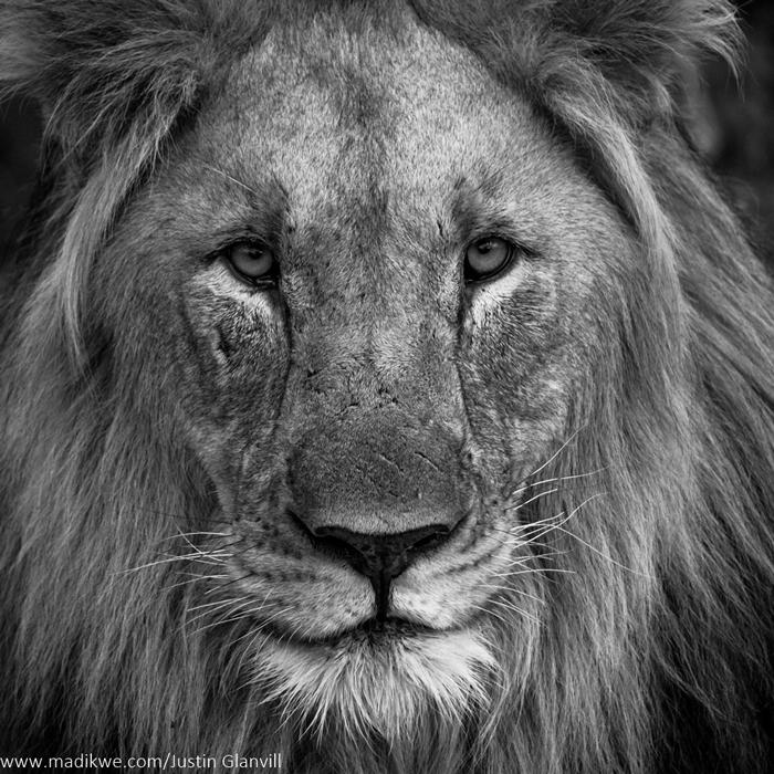 lion-head-black-and-white-jacis-lodges