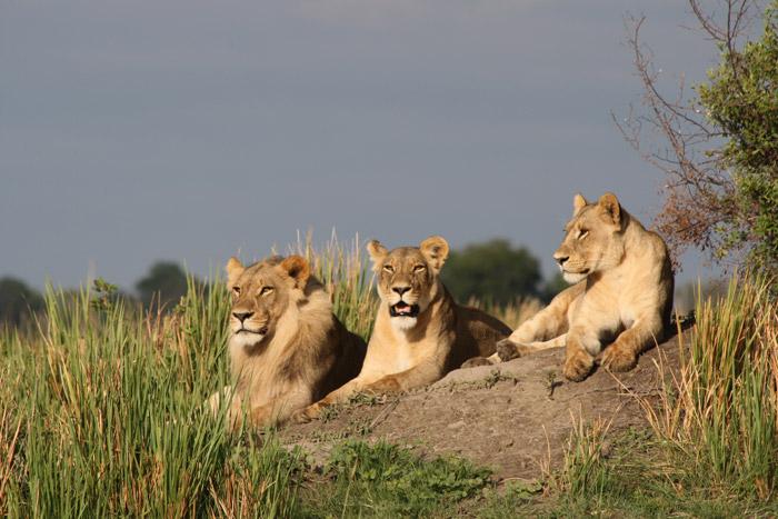 lions-botswana