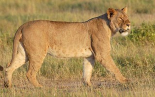 The number of lions in Africa has declined by half since the 1990s
