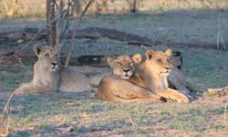 lions-lelobu