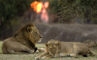 Lions relax at sunset in the South Luangwa Valley ©Robin Pope Safaris