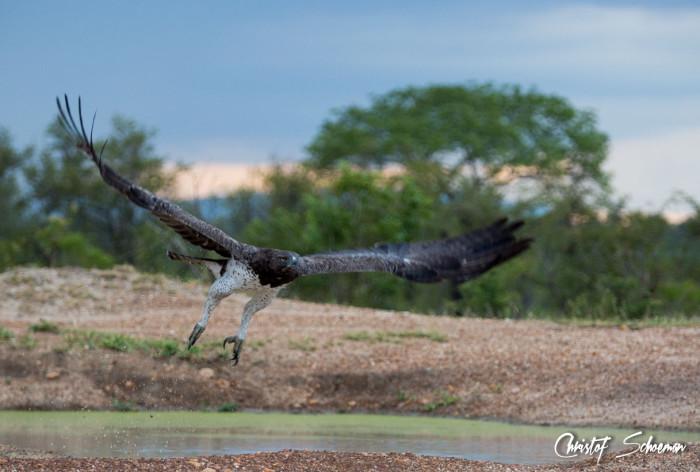 manyeleti-game-reserve-martial-eagle