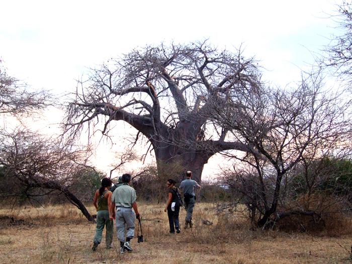 A baobab on a walking safari from Lake Manze Camp in Selous