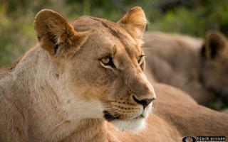 mara-marsh-lioness