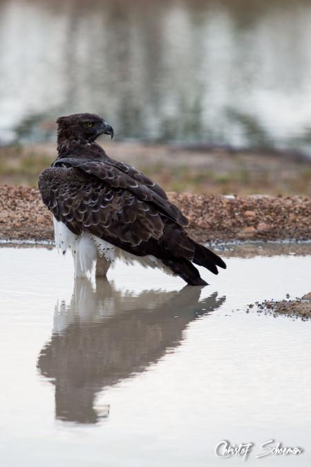martial-eagle-christof-schoeman