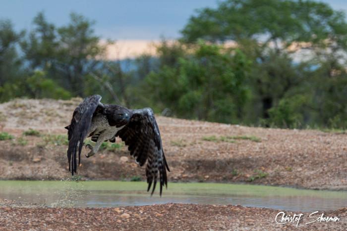 martial-eagle-manyeleti-game-reserve