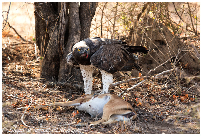 martial-eagle-with-impala-kill