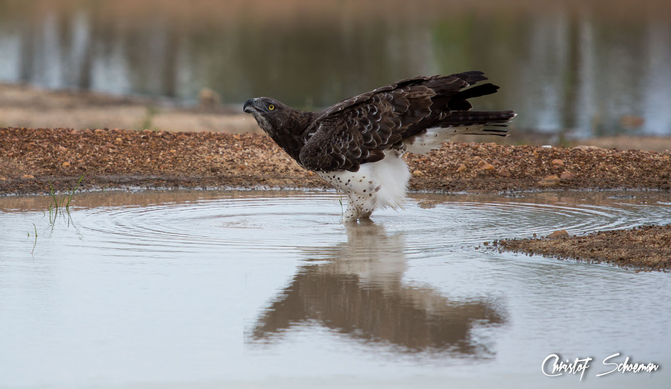 All about the martial eagle africa geographic martial eagle biocorpaavc Choice Image
