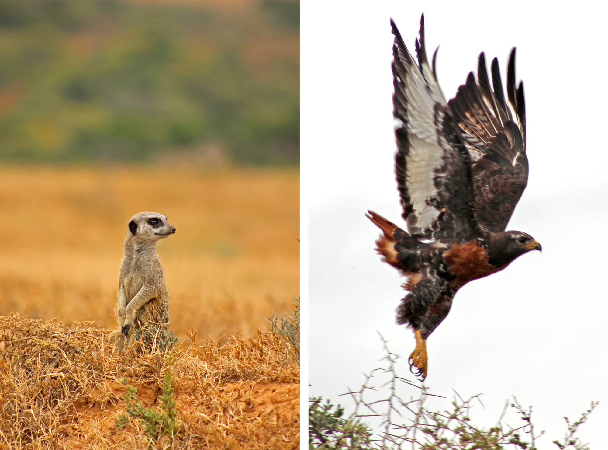 A meerkat and a jackal buzzard spot something in the distance ©Ryan Avery