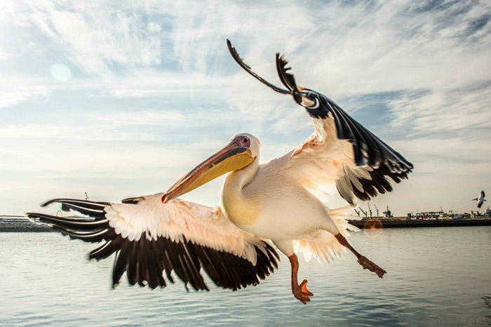 A pelican flies towards the camrea in Walvis Bay, Namibia ©Linda-Mari Viljoen