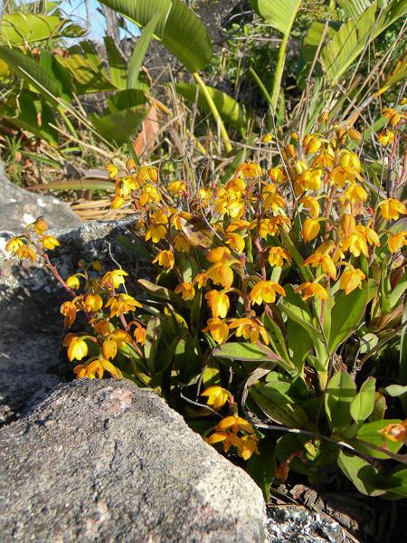 polystachya-pubescens-beacon-hill