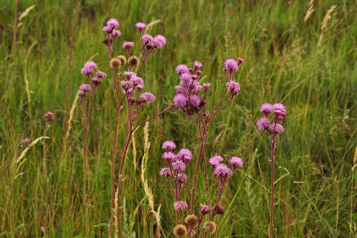 pompom-weed-grassland-south-africa