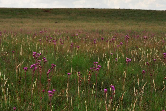pompom-weed-grassland