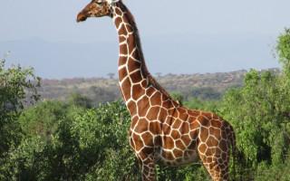 samburu-giraffe