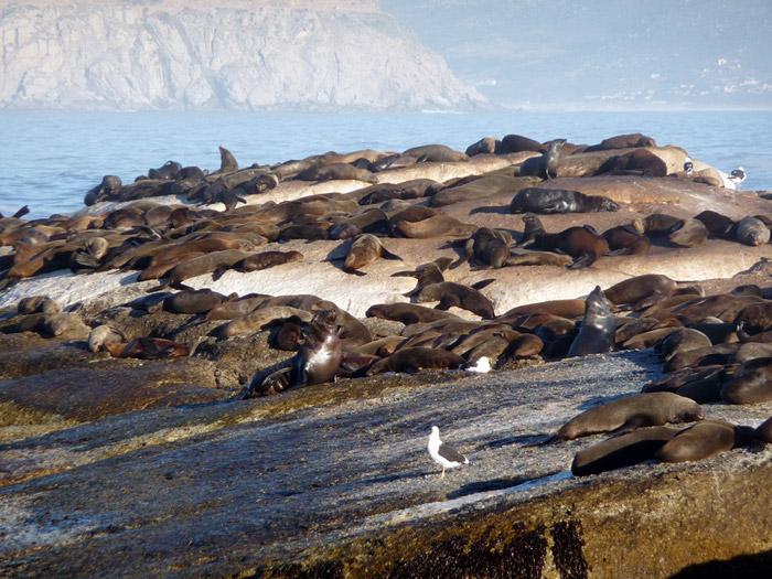 Hout Bay's seal island ©Damien du Toit