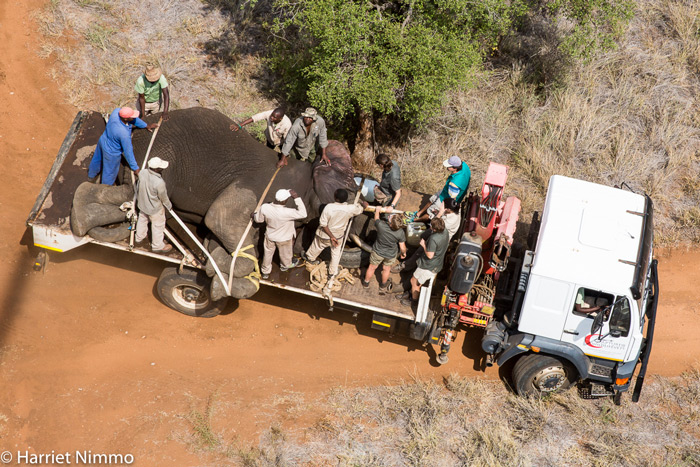 securing-elephant-on-truck