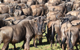 serengeti-wildebeest-migration