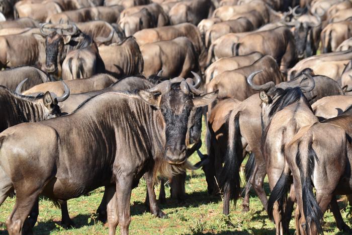 serengeti-wildebeest-migration