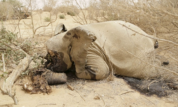 A slaughtered elephant is seen in Bambara-Maoude, Mali, 10 June 2015 ©Reuters