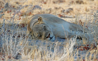 Pictured lioness not the lion in question©Janine Avery