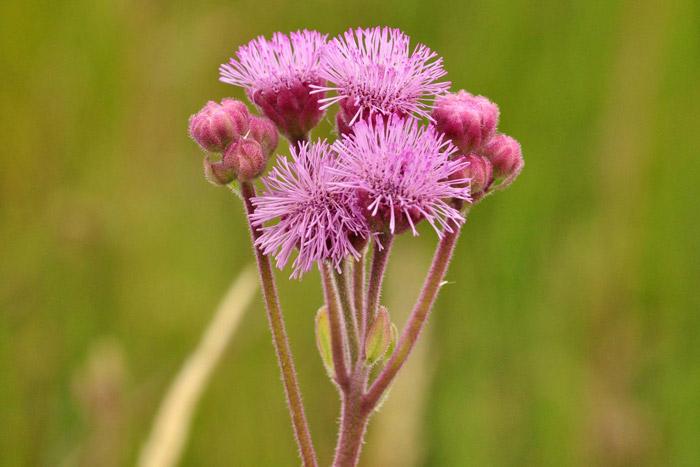 south-africa-grassland-pompom-weed