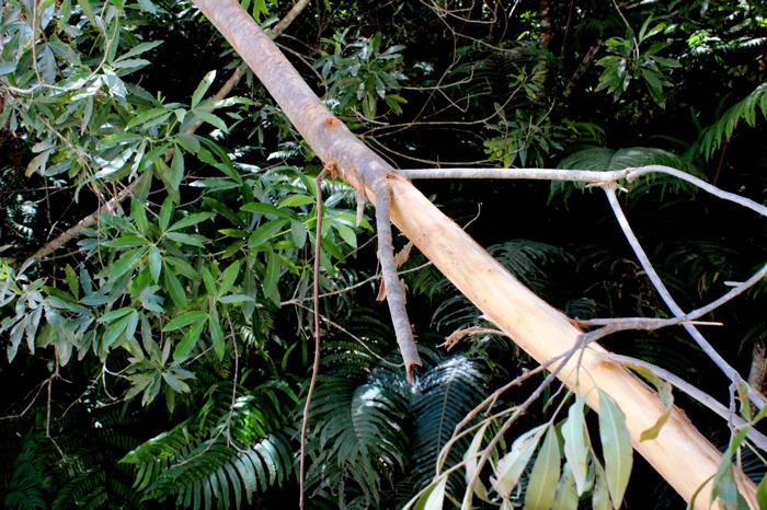 tree-stripped-of-bark by knysna elephants