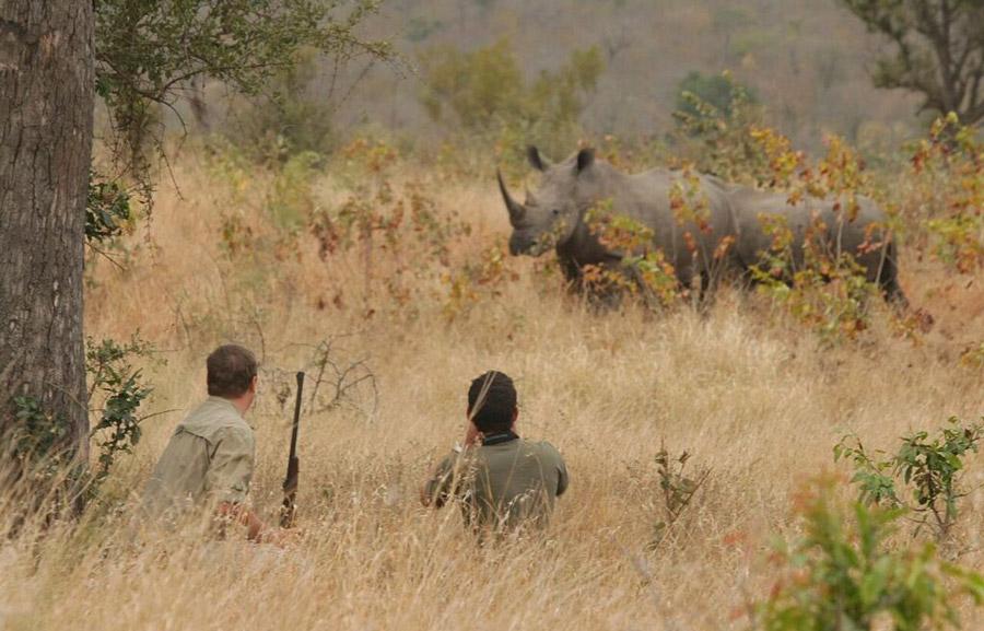 walking-White-Rhino