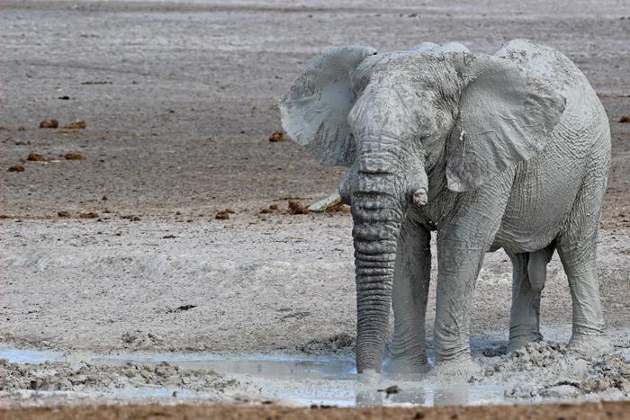 A famous 'white elephant' in Etosha ©Janine Avery