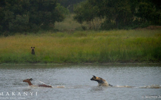 wild-dog-swims-after-impala