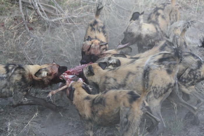 wild-dogs-botswana