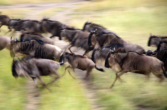 The wildebeest migration in motion in the Maasai Mara, Kenya ©Yaron Schmid