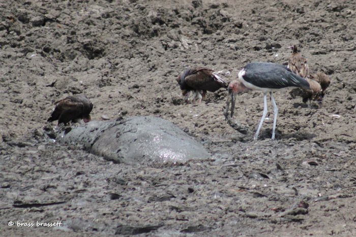 With no other body of water nearby to support him, a hippo holds on to the last drop of moisture at Mazithi Dam as vultures and Marabou stork feed on barbel around him