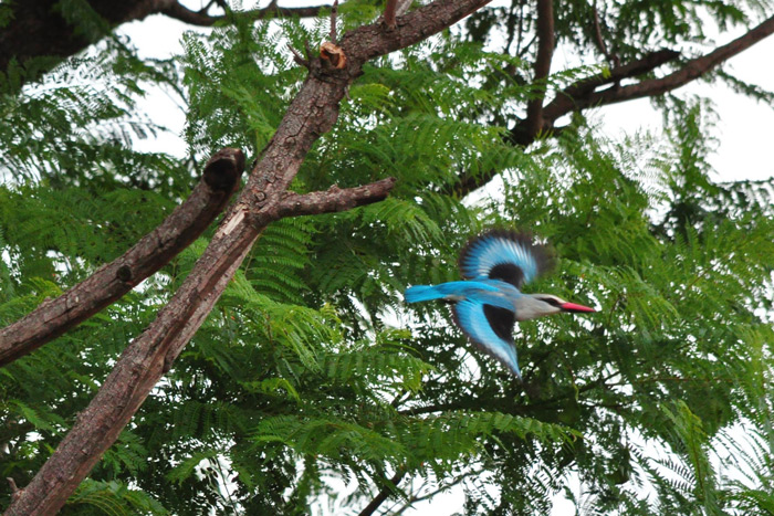 woodland-kingfisher-in-flight
