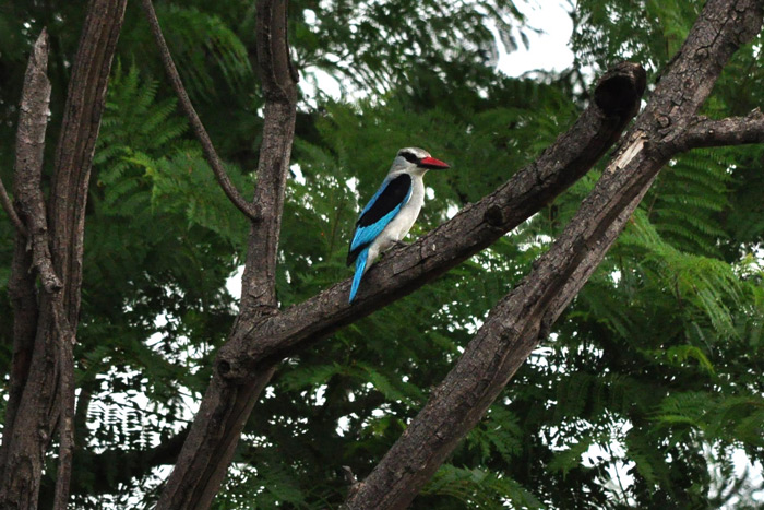 woodland-kingfisher-in-tree-ezemvelo-nature-reserve