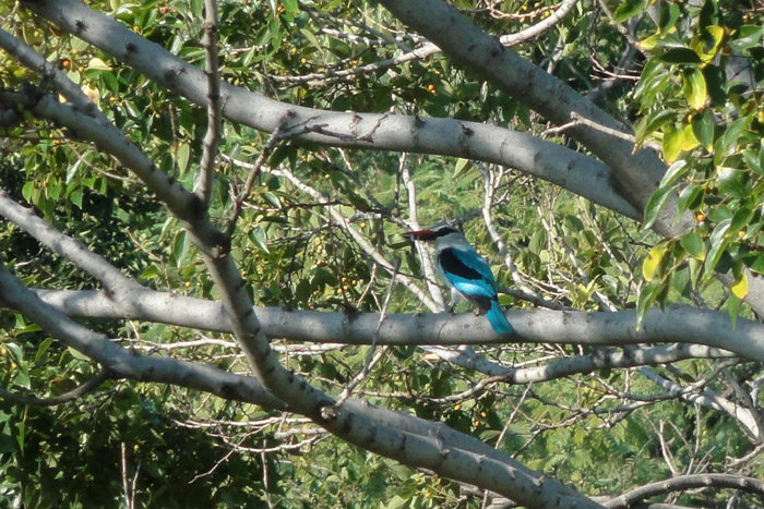 woodland-kingfisher-in-tree
