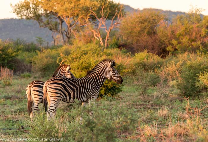 zebra-jacis-lodges