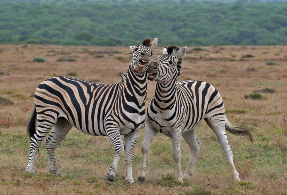 zebras-fighting-ryan-avery