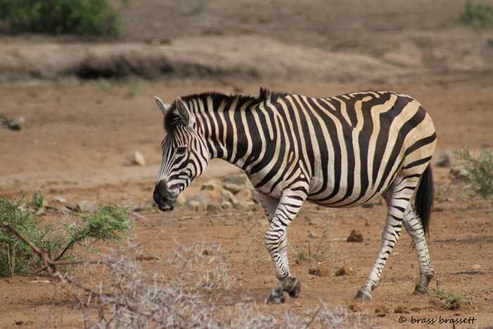A zebra with a floppy mane