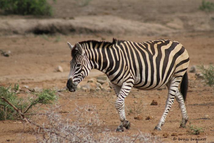 A zebra with a floppy mane