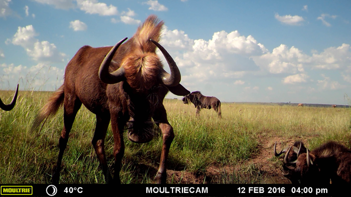 wildebeest-up-close