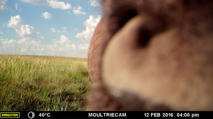 wildebeest-tasting-the-camera