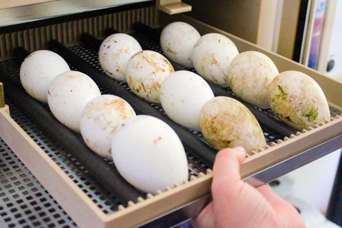 African-penguin-eggs-at-SANCCOB