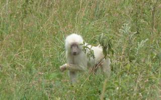 Albino-baboon