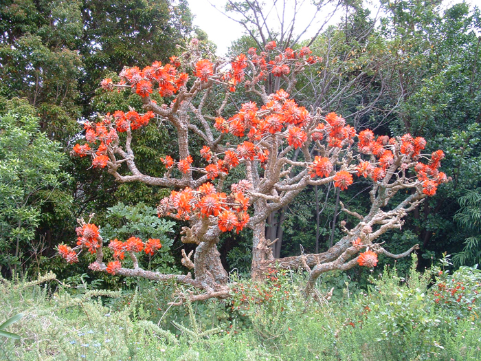 South Africa S Coral Trees A Study In Scarlet Africa
