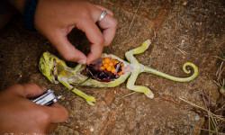 Chameleon-dissection