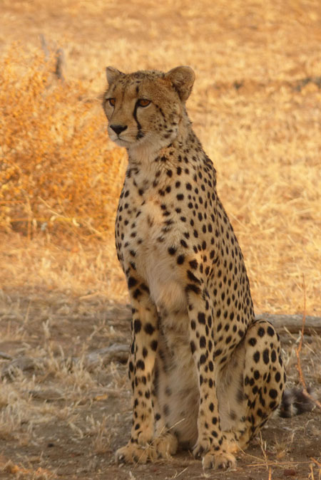 Cheetah-in-Botswana