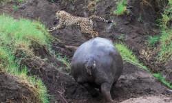 Cheetah-runs-from-hippo