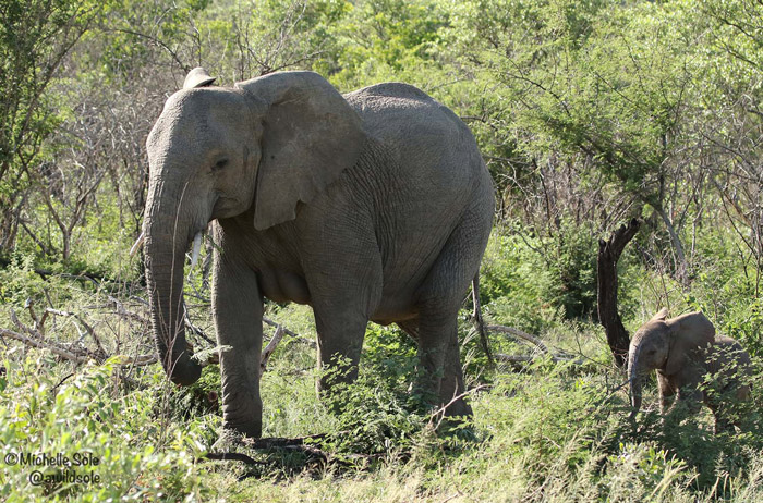 Elephant-calf
