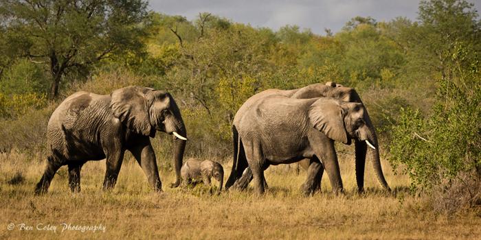 Elephant-family-on-the-move